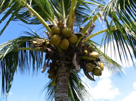 coconut_tree_in_napili_z3v3